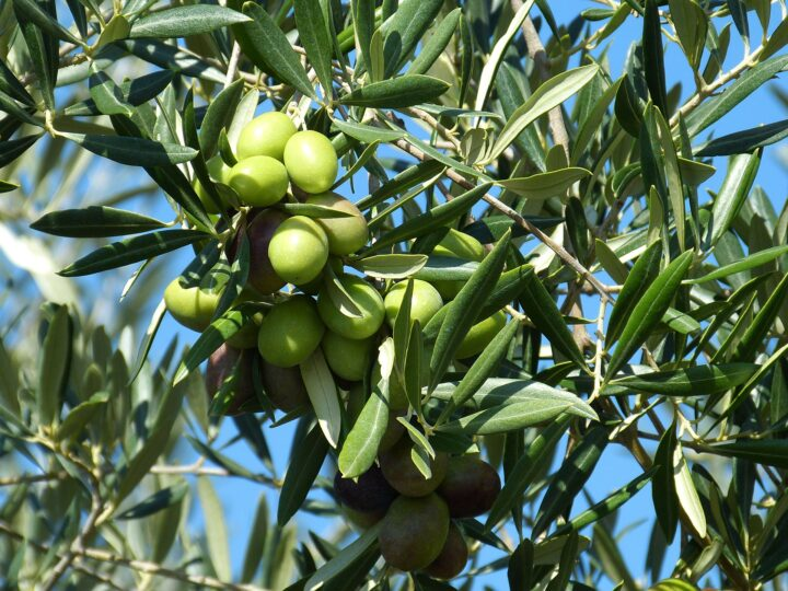 L'Oleoteca dei Fratelli Burgio: tra produzione propria e selezione di oli siciliani